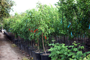 Clausen Nursery; More trees
