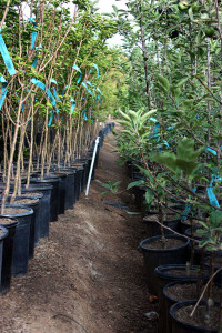 Clausen Nursery; rows of fruit trees