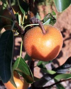 Hosui Pear
