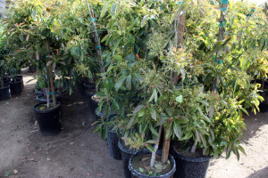 Clausen Nursery, young Avocados