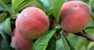 Best Peaches to Grow in Southern California