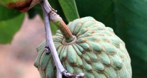 Cultivation of the exotic Cherimoya