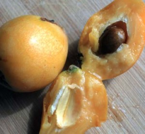 Loquat pulled apart to show flesh and seed