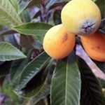 The Loquat tree: a golden gem