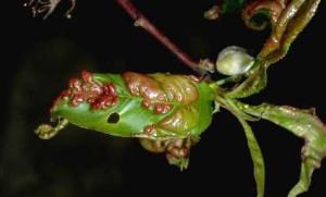 Peach leaf curl: Yuck