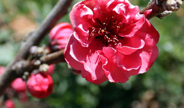 Red Baron peach flower