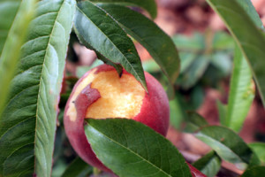 Snail damage on peach fruit