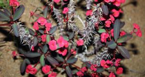 Euphorbia: A dangerous ally