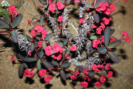 euphorbia milii. Crown of thorns