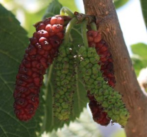 Ripening Pakistan Mulberry on tree