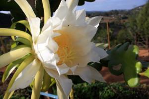 Dragon Fruit Flower in the morning