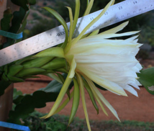 Side view of the flower with ruler to show the large size. About a foot long depending on how you measure it.