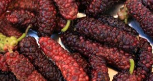 Pakistan Mulberry tree cultivation
