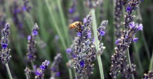 How to care for lavender
