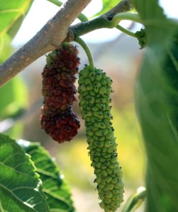 Ripening Pakistan Mulberry fruit