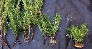 How to propagate rosemary: 2 key tricks