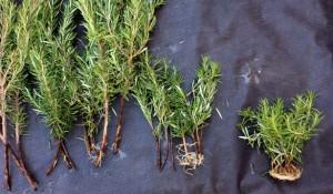 Rosemary propagation