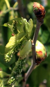 Unfolding Pakistan Mulberry leaves and fruit