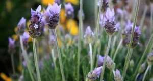 Lavender care archives tastylandscapetastylandscape for Hearty low maintenance plants