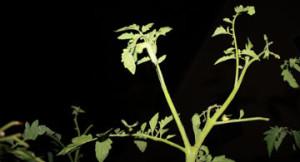 Tomato Hornworm control