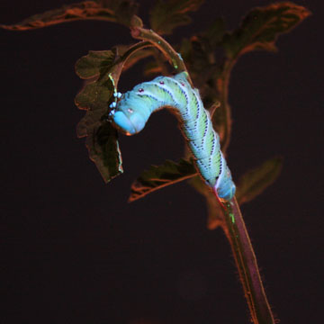 How to control Tomato Hornworms - TastyLandscapeTastyLandscape