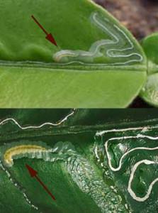 Citrus Leafminer (Phyllocnistis citrella)