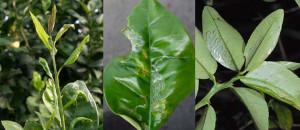 Citrus Leafminer larva
