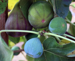ripening mission  figs