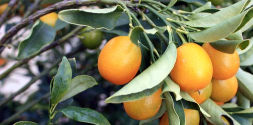 nagami kumquat growing information tastylandscapetastylandscape
