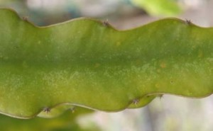 Cactus Virus X on Dragon fruit stem.Image sourced from an online ppt from Deborah Mathews, Ph.D at UC Riverside