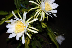 Night time Dragon fruit flowers