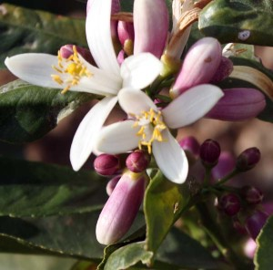Buddha Hand Citron flowering