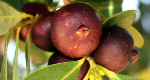 Strawberry Guava tree