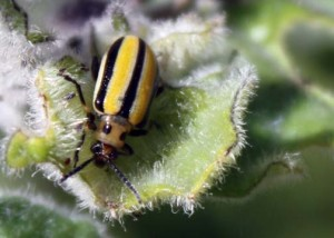 Three-lined Potato Beetle (Lema daturaphila):