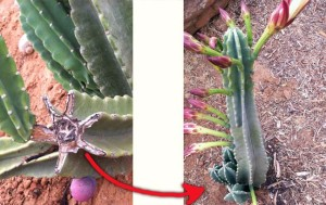 Cereus propagation