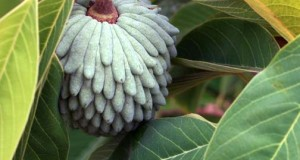 Atemoya: growing this unusual and delicious fruit.