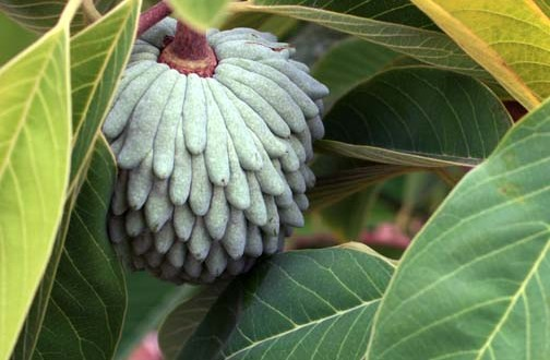 Atemoya Growing This Unusual And Delicious Fruit