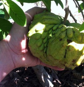 atemoya fruit almost ready to pick