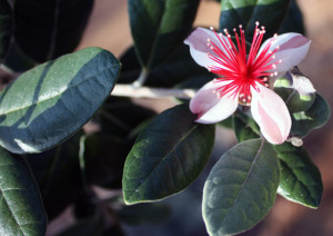 Pineapple Guava flower and leaves.