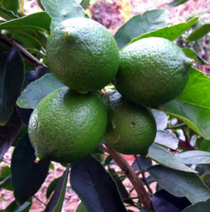 When to pick limes