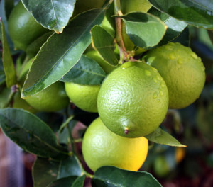 Bearss lime cultivation