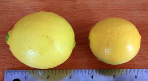 Meyer lemon size and look