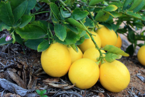 Prolific Meyer Lemon tree