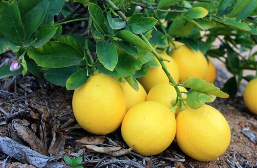 Growing meyer lemons tastylandscapetastylandscape for Planting lemon seeds for smell