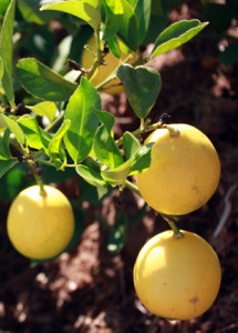 Ripe Meyer lemons ready to pick