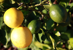 Ripe and unripe Meyer lemons