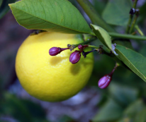Ripening Meyer lemon fruit and flower buds