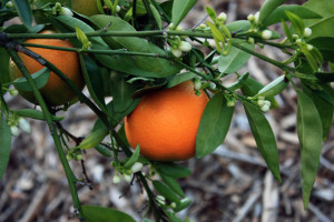 Fairchild mandarin fruit to the left is ripening and fruit in the middle is ready to pick.