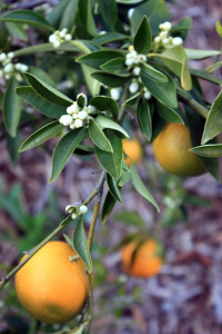 Fairchild mandarin