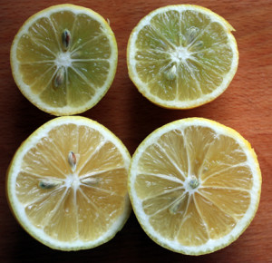 Unripe Meyer lemon at top and ripe at the bottom